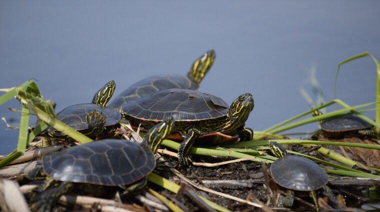 У Запоріжжі помітили нашестя черепах - відео