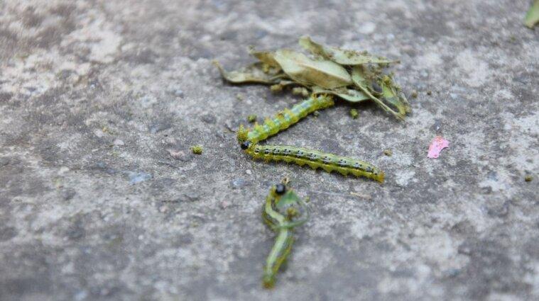 Херсонщину атакует гусеница: она падает на волосы и за шиворот