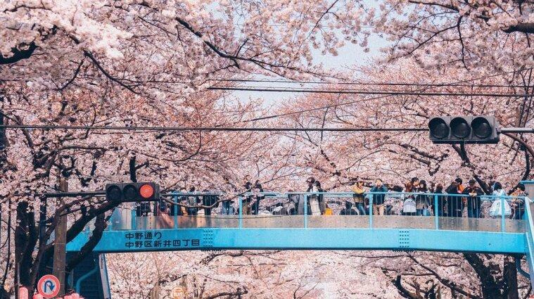 В Японии расцвели сакуры (фото)