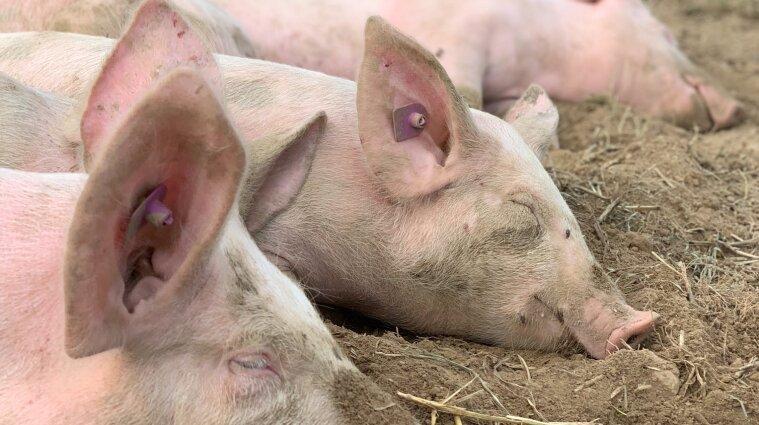 Вспышка африканской чумы свиней произошла в Харьковской области