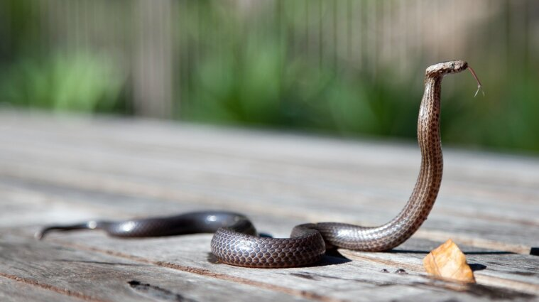 У МОЗ пояснили, що робити, якщо вкусила змія