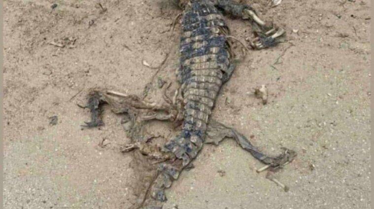 На пляже под Мариуполем нашли труп крокодила