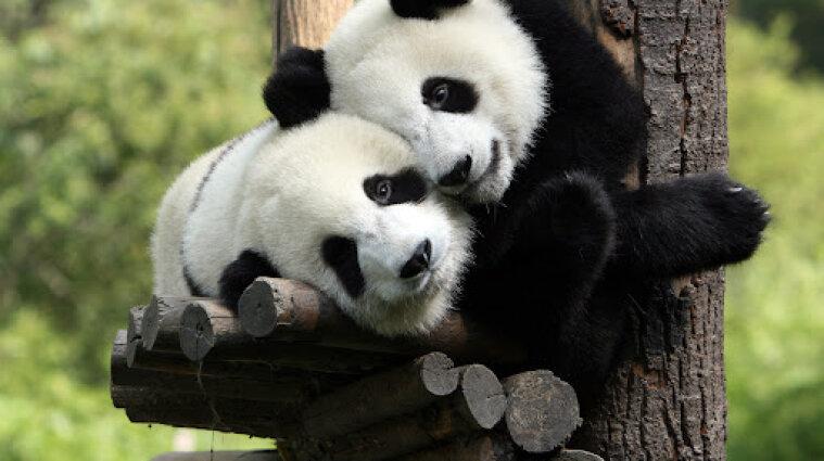 В Японії народились дві панди-близнюки