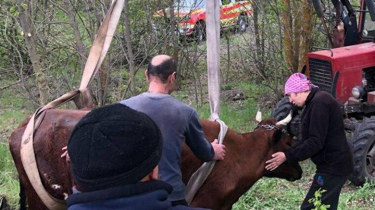 Корову из канализационной ямы пришлось доставать спасателям - фото