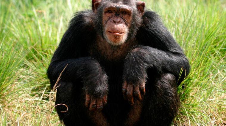 У шимпанзе обнаружили опасную инфекцию