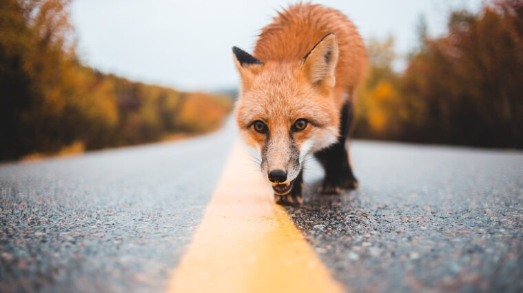 На Прикарпатті ціле селище закрили на карантин через скажену лисицю