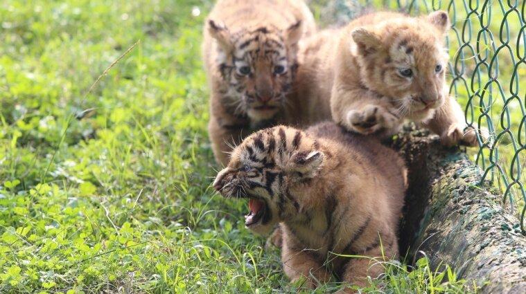 Тигренят випустили на прогулянку в зоопарку Китаю - фото