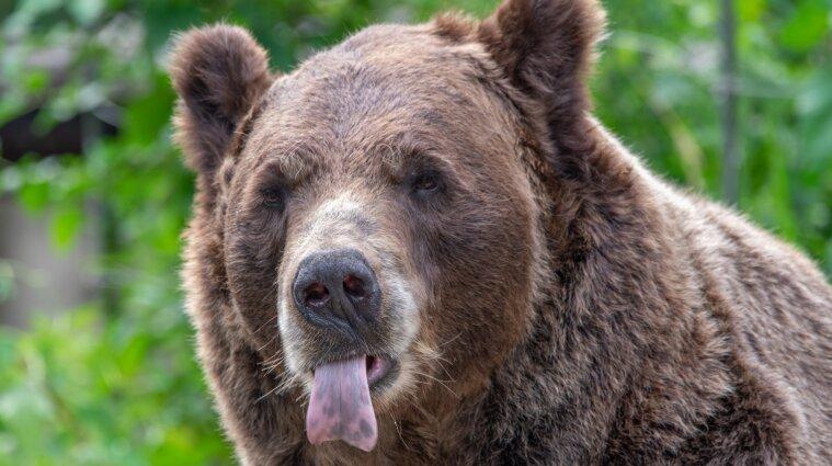 На Прикарпатті ведмедиця відкусила чоловікові пів обличчя (відео)