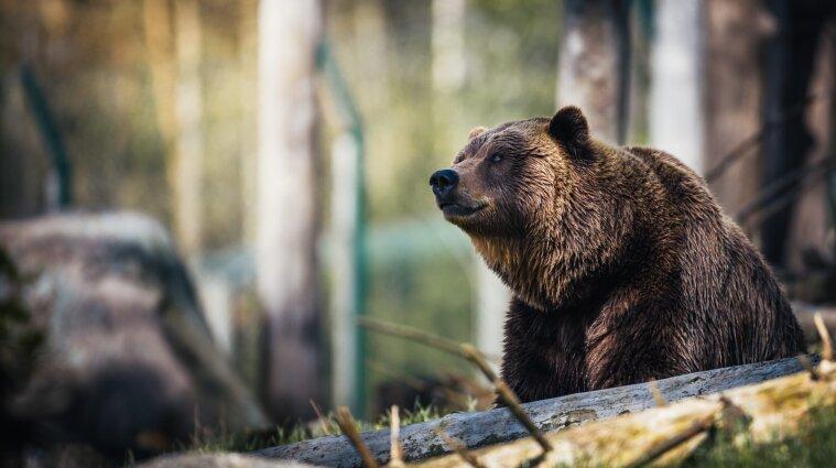 В Карпатах свисток спас спортсмена от медведя