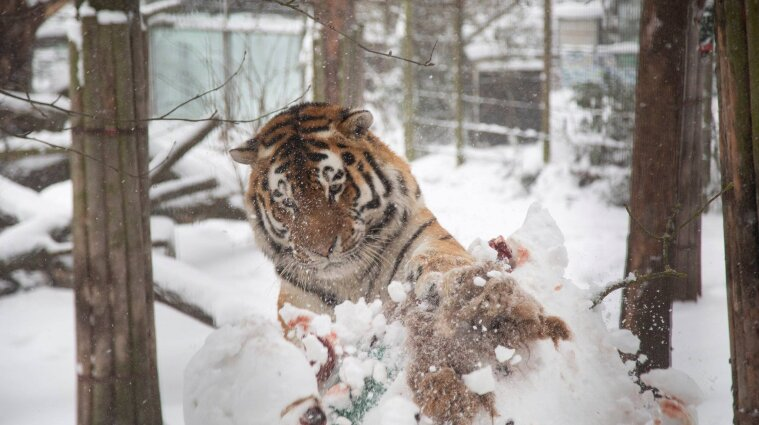Фінський зоопарк показав, як розважаються у снігу тигри і росомахи - фото, відео