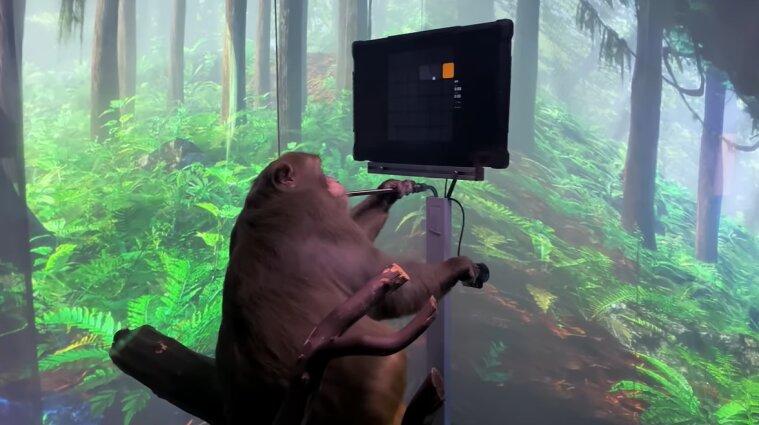 Стартап Маска вживив чіп у мозок мавпі та навчив її грати у відеоігри