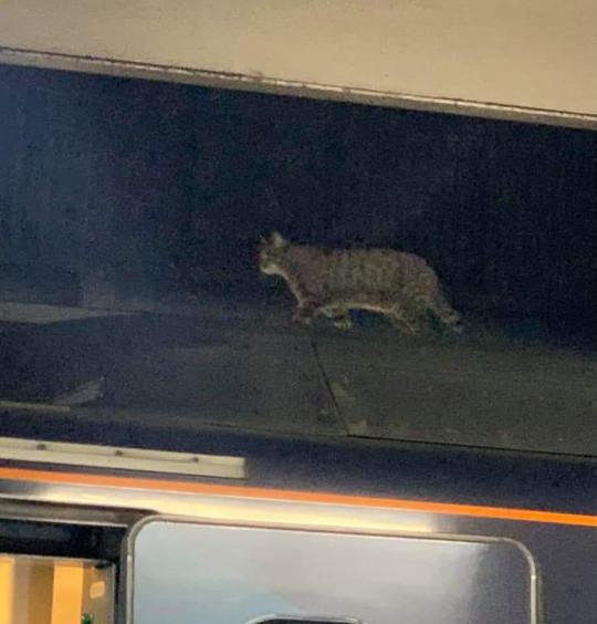 Кішка на даху потягу