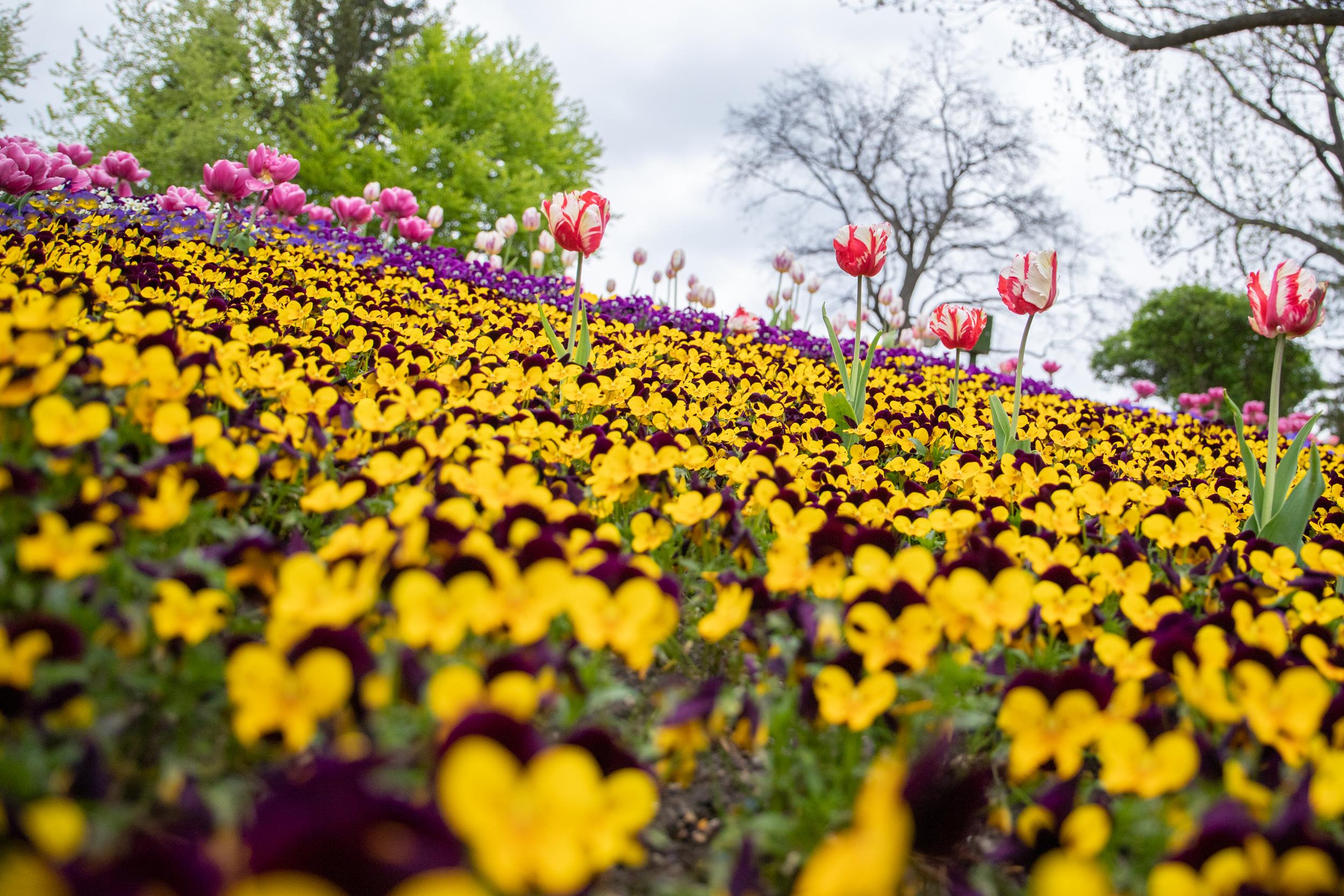 Киев, Певческое поле, цветы