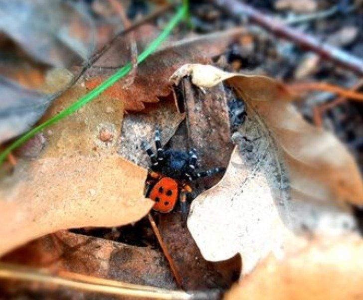 Самець павука Ерезус